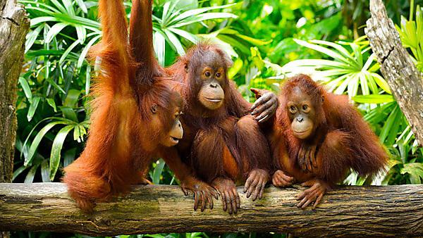 Close-up of orang utans [shutterstock_198517937]